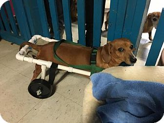 Dachshund Dog for adoption in York, South Carolina - Ginger
