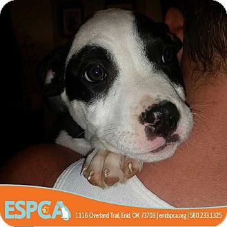 Pit Bull Terrier Mix Puppy for adoption in Enid, Oklahoma - Zeus
