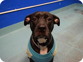 American Pit Bull Terrier Mix Dog for adoption in Ridgefield, Connecticut - Maribel