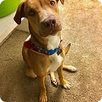 Adopt A Pet :: Oso - Sterling Heights, MI