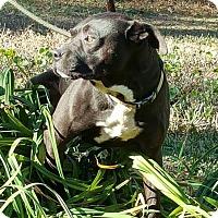 Adopt A Pet :: Samuel - Southbury, CT