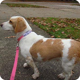 Pumpkin Pie | Adopted Puppy | Lemon Basset / Beagle Beauty ...