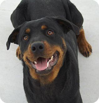 Rottweiler Dog for adoption in Austin, Texas - Kenzi