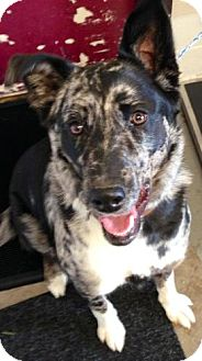 Australian Shepherd/Border Collie Mix Dog for adoption in Red Bluff, California - Jenny-$45 adoption Fee!