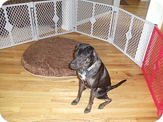 Labrador Retriever/Shar Pei Mix Dog for adoption in Gig Harbor, Washington - Zoey