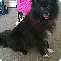 Adopt A Pet :: Baloo aka Midnight - Copperas Cove, TX