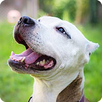 Pit Bull Terrier Mix Dog for adoption in Brooklyn, New York - SKYLAR gentle friend