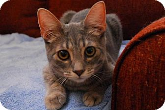Domestic Shorthair Cat for adoption in Satellite Beach, Florida - Adriana