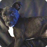 Adopt A Pet :: Ash Woods -Adopted! - Turnersville, NJ