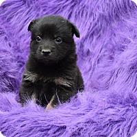 Adopt A Pet :: Sweet - Charlemont, MA
