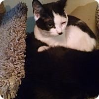 Domestic Shorthair Kitten for adoption in Walla Walla, Washington - Suzie Q