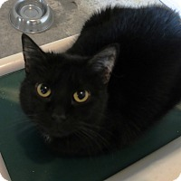 Domestic Shorthair Cat for adoption in Geneseo, Illinois - Chloe