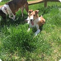 Adopt A Pet :: Samson - Phoenxville, PA