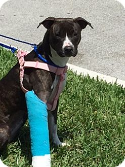 Labrador Retriever Mix Dog for adoption in Fort Lauderdale, Florida - LEXI