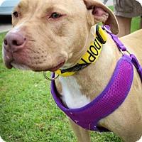 Adopt A Pet :: Ellie - Wylie, TX