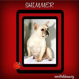 French Bulldog Dog for adoption in Alabaster, Alabama - Shimmer