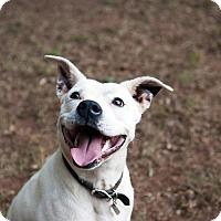 Boxer/Labrador Retriever Mix Dog for adoption in Atlanta, Georgia - Rocky