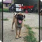 Adopt A Pet :: Jasper (POM DC)