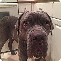 Adopt A Pet :: Chop - Royal Palm Beach, FL
