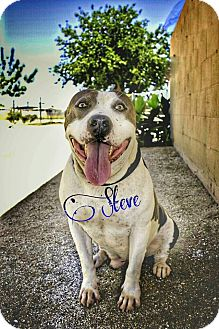 Pit Bull Terrier Mix Dog for adoption in DELANO, California - STEVE