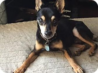 Miniature Pinscher Mix Dog for adoption in Nashville, Tennessee - Timmy