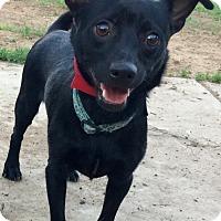 Basenji/Chihuahua Mix Dog for adoption in Phoenix, Arizona - Titan