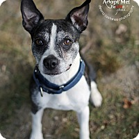 Boston Terrier/Jack Russell Terrier Mix Dog for adoption in Lyons, New York - Max