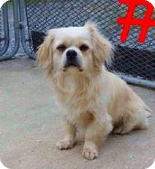 Pekingese Dog for adoption in Mission, Kansas - Buster Blue