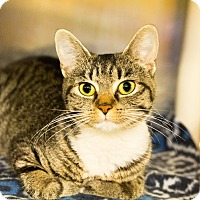Adopt A Pet :: Polly Polydactyl - Seville, OH