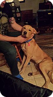 Labrador Retriever Mix Dog for adoption in Brattleboro, Vermont - Clifford