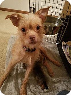 Norfolk Terrier Mix Dog for adoption in Houston, Texas - Napa Rose