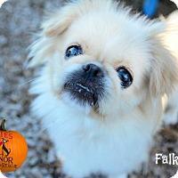 Adopt A Pet :: Falkor - Bradenton, FL