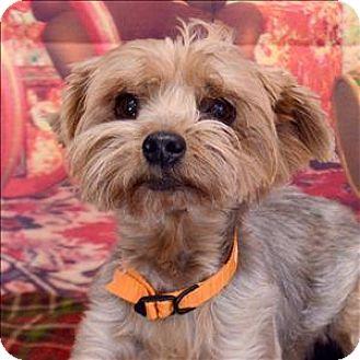 Yorkie, Yorkshire Terrier Mix Dog for adoption in Fort Davis, Texas - Tobie