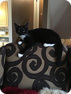 Domestic Shorthair Kitten for adoption in Cincinnati, Ohio - Maria