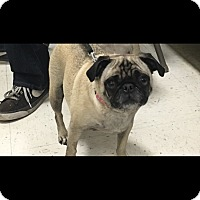 Pug/Pug Mix Dog for adoption in LAKEWOOD, California - Sammy
