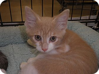 Domestic Shorthair Kitten for adoption in Warren, Michigan - Malarky