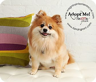 Pomeranian Dog for adoption in Omaha, Nebraska - Penny the Pom
