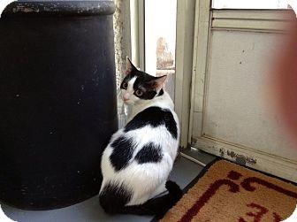 Domestic Shorthair Cat for adoption in Columbus, Georgia - Phantom
