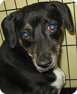 Beagle/Terrier (Unknown Type, Medium) Mix Dog for adoption in Phoenix, Arizona - Pete & Penny