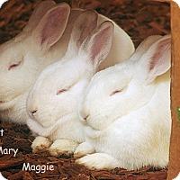 Adopt A Pet :: Mary, Maggie & Piglet - Santa Barbara, CA