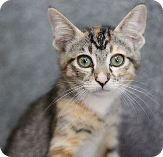 Domestic Shorthair Kitten for adoption in Raleigh, North Carolina - Thea L