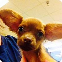 Adopt A Pet :: Callaway's pup Taylor - Tucson, AZ