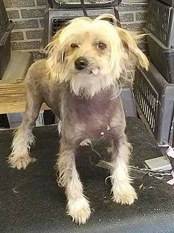 Chinese Crested Dog for adoption in Vinemont, Alabama - Jessie