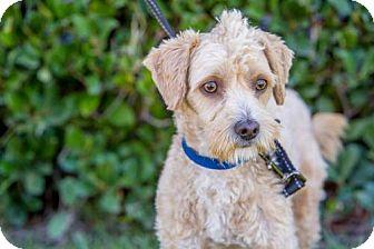 Poodle (Miniature)/Norfolk Terrier Mix Puppy for adoption in San Diego, California - Tobias
