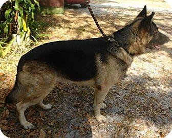 German Shepherd Dog Dog for adoption in Riverview, Florida - Sarge