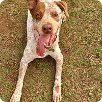Adopt A Pet :: Tatum - Seattle, WA