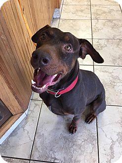 Doberman Pinscher Mix Dog for adoption in Westerville, Ohio - Sampson