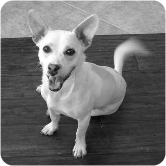 Corgi/Terrier (Unknown Type, Small) Mix Dog for adoption in Moreno Valley, California - Buster