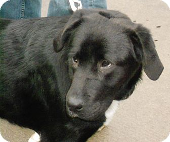 Labrador Retriever/Border Collie Mix Dog for adoption in Raleigh, North Carolina - Dominoe