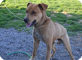 Pit Bull Terrier/Boxer Mix Dog for adoption in New Cumberland, West Virginia - Swerve
